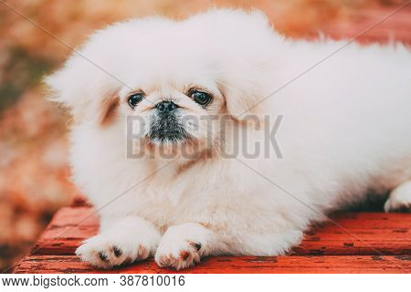 White Pekingese Pekinese Peke Whelp Puppy Dog Sitting On Wooden Bench In Autumn Park