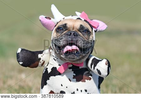 Portrait Of Happy French Bulldog Dog Wearing A Funny Full Body Halloween Cow Costume With Fake Arms,