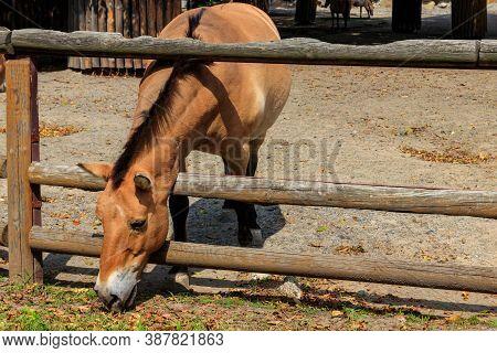 Przewalski Wild Horse In A Paddock. Przewalski's Horse (equus Przewalskii Or Equus Ferus Przewalskii