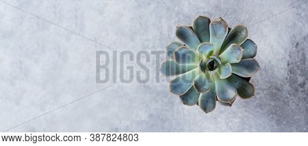 Succulent Echeveria. Beautiful Green Succulent Isolated On Grey Stone Concrete Background. Flat Lay,