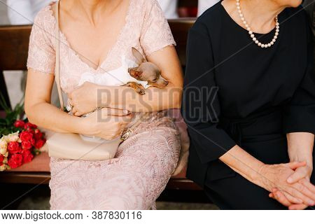 Small Breed Dog Toy Terrier In The Arms Of A Woman On A Wooden Bench In A Public Place.
