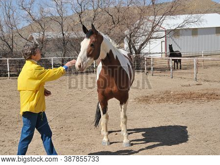 Mature Female Rancher Feeding Her Horse In The Stable Outdoors.