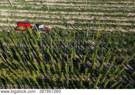 Hop Harvest Or Hop Picking With Tractor Aerial View