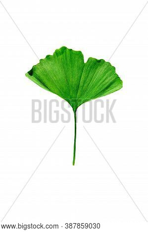 Green Leaf Of Ginkgo Biloba Isolated On White Background.  Clipping Path