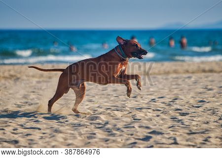 Dog Rhodesian Ridgeback Running At The Along The Sandy Beach