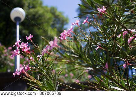 Blooming Oleander. Pink Blooming. Oleander Flowers Close Up On A Background Of Tropical Vegetation