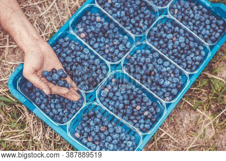 A Picker Harvesting Fresh Blueberries At The Blueberry Farm, Food Concept