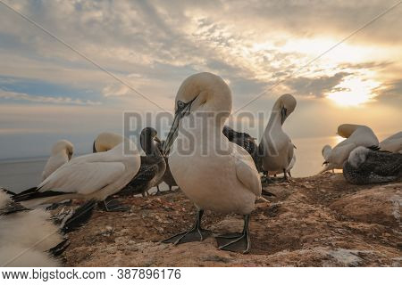 Animal In The Wild.  Northern Gannet On A Rock In A Colony At Sunset. Portrait Of A Northern Gannet