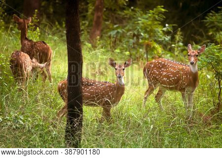 A Young Spotted Deer Staring Straight Back At The Camera At Bandhavgarh India.
