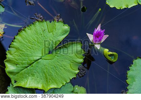 Pink Color Blooming Water Lily And Lotus Flower (nymphaea Alba, Nymphaea Lotus) With Selective Focus
