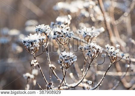 Plant Inflorescence With Shining Rime In Cold Winter Forest