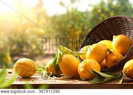 Group Of Freshly Picked Harvest Lemons On Wooden Table Coming Out Of A Basket Against The Background