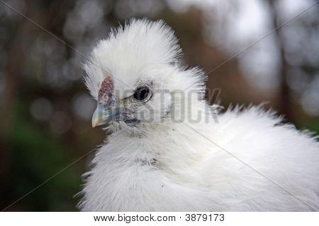 Baby White Silky Bantam
