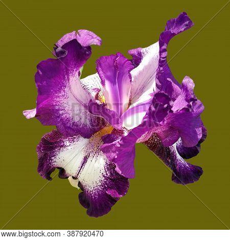 Close-up Of A Single Purple And White Bearded Iris Iridaceae Flower Isolated On Hakki Background.