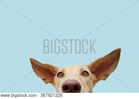 Close-up Hide Attentive And Listening Puppy Hound Dog With Big Ears. Isolated On Blue Colored Backgr