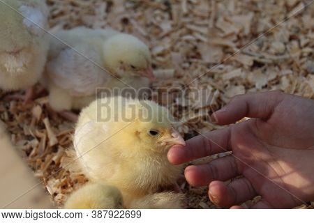A Small Yellow Fluffy Chicken Pecks Grain Eats Food Drinks Water Looks