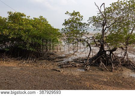 Mangrove Trees With Sticking Roots On Railay East Beach, In The Background Of The Sea
