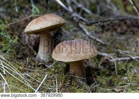 Cep Fungus, Boletus Edulis