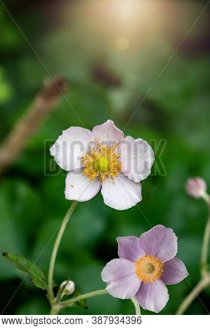 Flower Anemone Hupehensis, Known As The Chinese Anemone Or Japanese Anemone, Thimble Flower, Or The