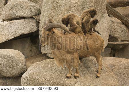Gelada Baboon (theropithecus Gelada) And Barbary Sheep (ammotragus Lervia).
