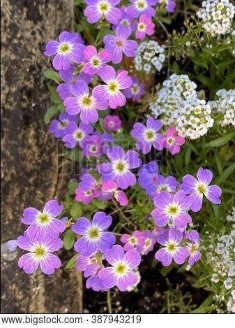 Photo Of The Flower Of Carpet Of Snow Alyssum Or Lobularia Maritima, An Annual Flowering Plant.