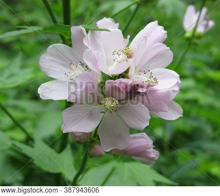 Mountain Hollyhock (iliamna Rivularis) Pink Wildflower In Gallatin Range, Montana