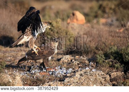 The Bonelli's Eagle (aquila Fasciata) A Pair Of Eagles On The Rock. Two Large Eagles On A Rock With