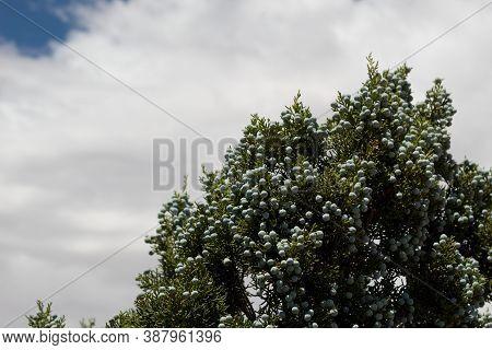 Blue Immature Female Seed Cones Of California Juniper, Juniperus Californica, Cupressaceae, Native D
