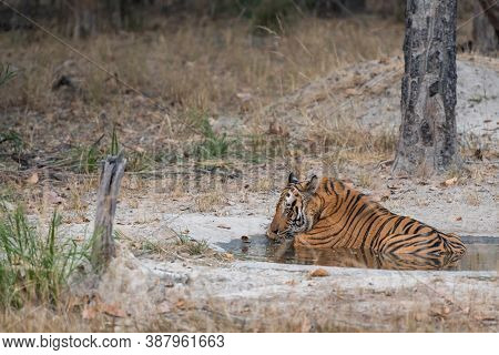 Adult Wild Male Tiger Resting In Waterhole During Evening Safari At Bandhavgarh National Park Or Tig