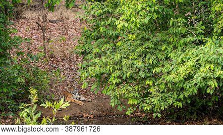 Wild Male Tiger Cub Resting Near Water Body During Evening Safari At Bandhavgarh National Park Or Ti