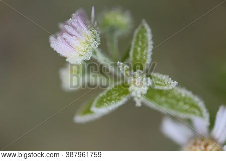 Flower In The Frost.frost On Plants. Frost On The Flowers In The Morning Sun.winter Natural Plant Ba