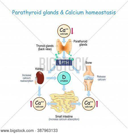 Vitamin D, And Calcium Homeostasis. Parathormone (pth) Secreted By The Parathyroid Glands That Locat