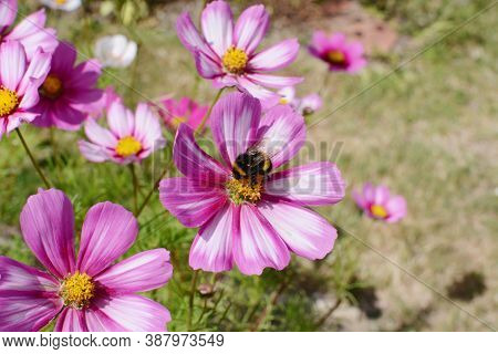 Bumble Bee Feeding From A Pink And White Cosmos Peppermint Rock Flower With Multicoloured Petals