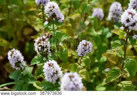 Honeybee Pollinator Among The White Flowers Of A Mint Plant In A Summer Garden