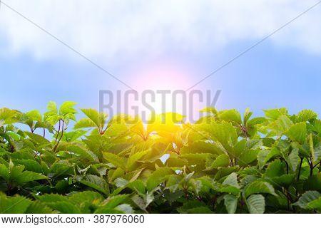 Green Leaves Sky Sun Of Cloud Closeup