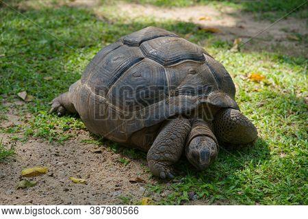 Aldabra Giant Tortoise Eating A Green Grass