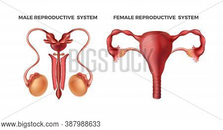 Male And Female Reproductive. Realistic Human Body Internal Organs. Schematically Drawn Organ System