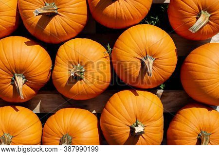 Pumpkins For Sale At A Pumpkin Patch. Halloween And Autumn Pumpkins Piled Upon Each Other For Sale A
