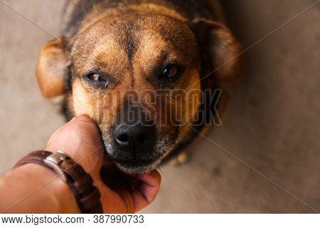 Petting Dog Smiling At The Camera. Dog Looking At The Camera. Brown Dog Smiling At The Camera. Anima