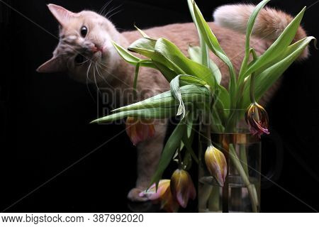Faded Tulips And A Curious Red Cat. A Bouquet Of Faded Tulips Stands In A Vase On A Black Background