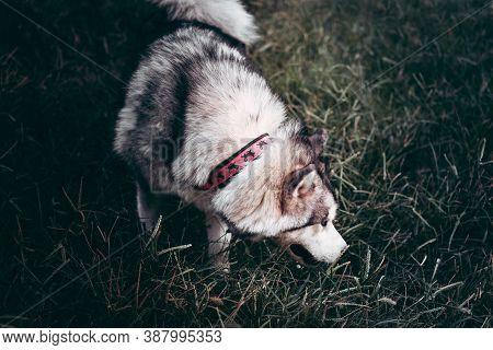 Female Malamute On A Walk. Grey Fluffy Alaskan Malamute Walks In The Park On The Green Grass. Beauti