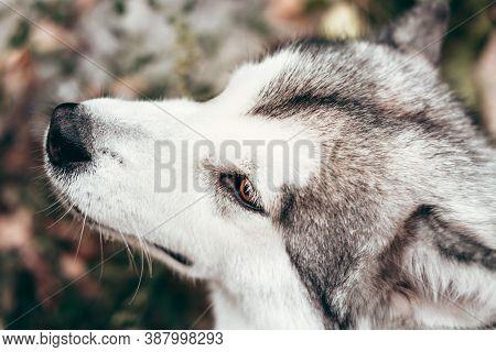 Portrait Of A Charming Fluffy Gray-white Alaskan Malamute Close-up. Beautiful Huge Friendly Sled Dog