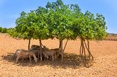 flock of sheep under fig tree shadow on summer hot day in Formentera Ibiza poster