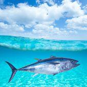 Bluefin tuna Thunnus thynnus swimming underwater photo mount poster