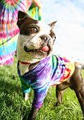 a cute boston terrier puppy in a tie dye shirt poster