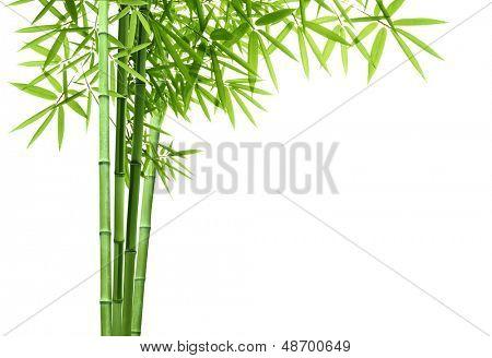 Bambu isolado no fundo branco