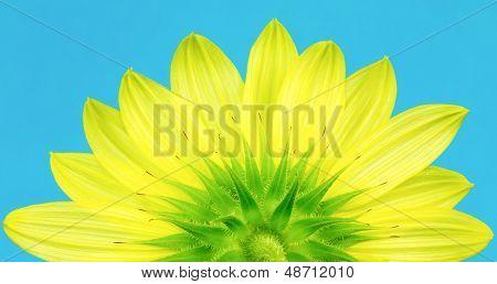 Underside Of Yellow Sunflower
