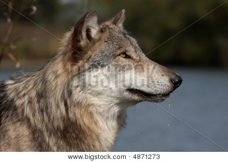 Wolf (Canis Lupus) portrait in natural setting poster