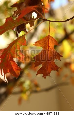 Autum Leaves About To Fall Off
