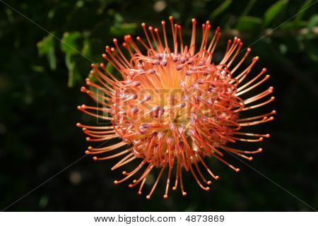 South African Protea